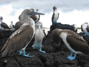 Blue footed booby flock on lava rocks