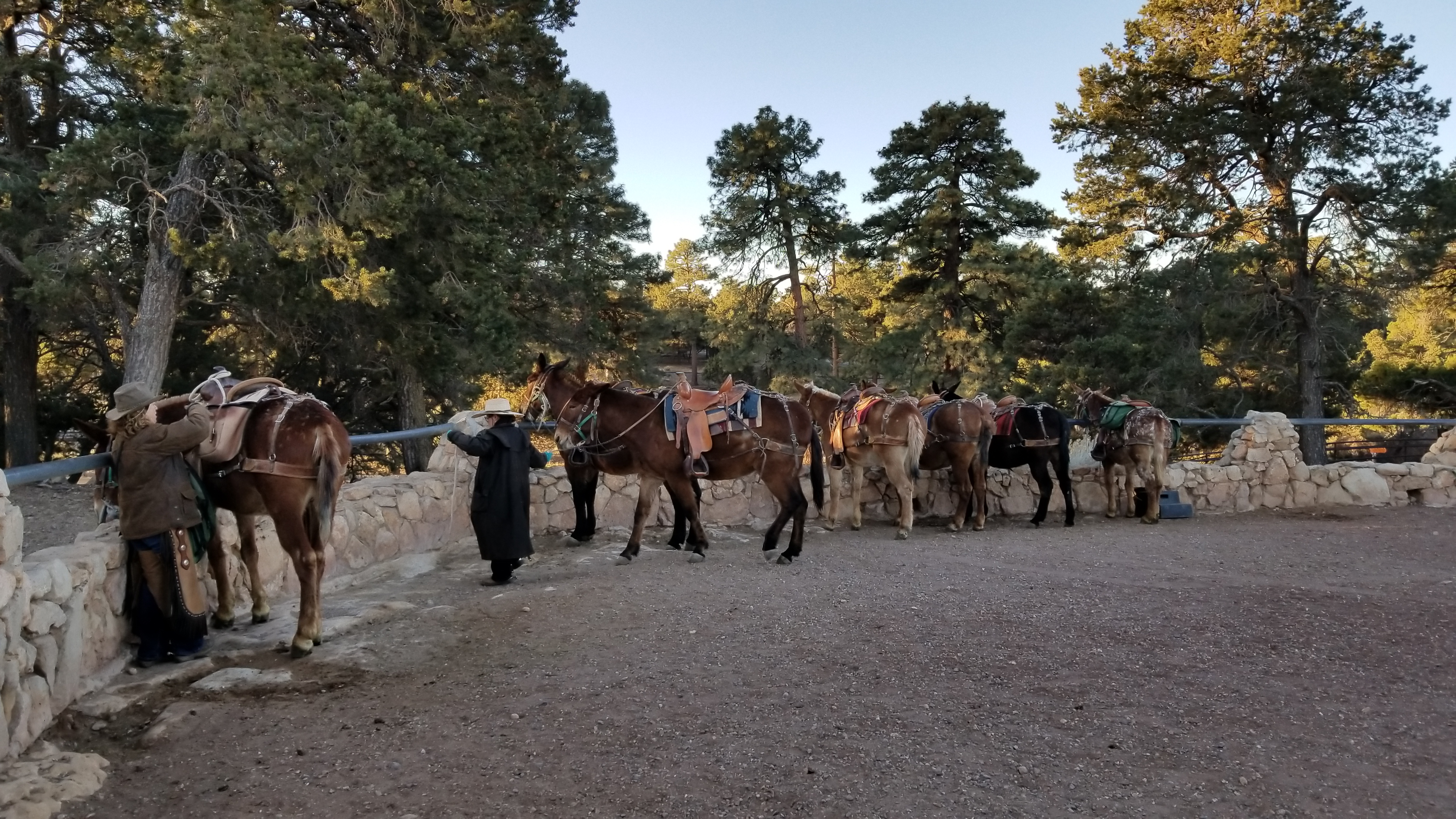 Mules at Stone Corral