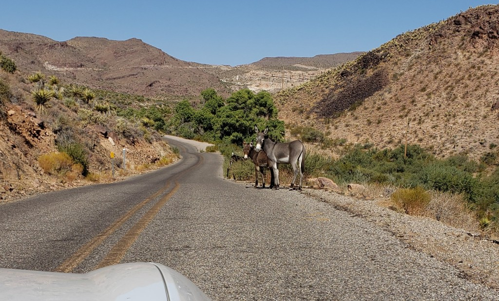 wild burros on side of road