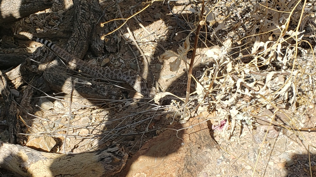 visible rattlesnake tail with snake partially in its burrow