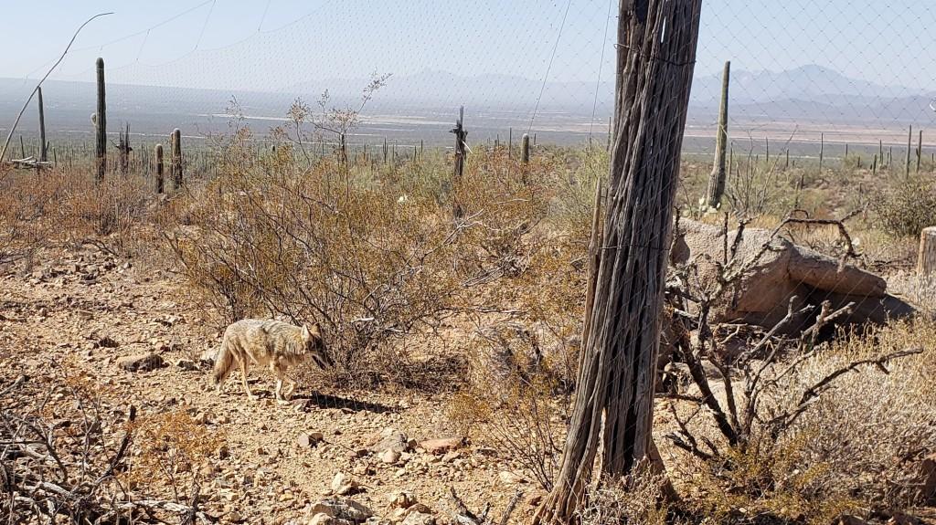 desert coyote close to path