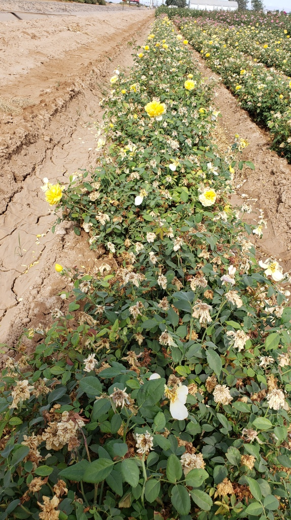 straight row of yellow rose bushes