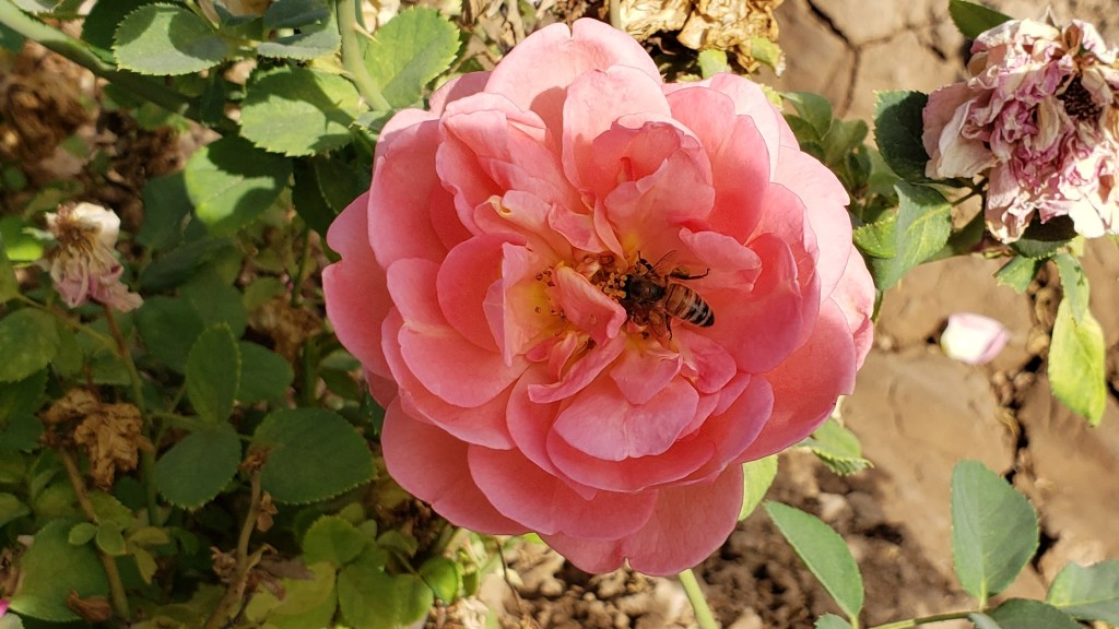 bee in the center of a large pink rose