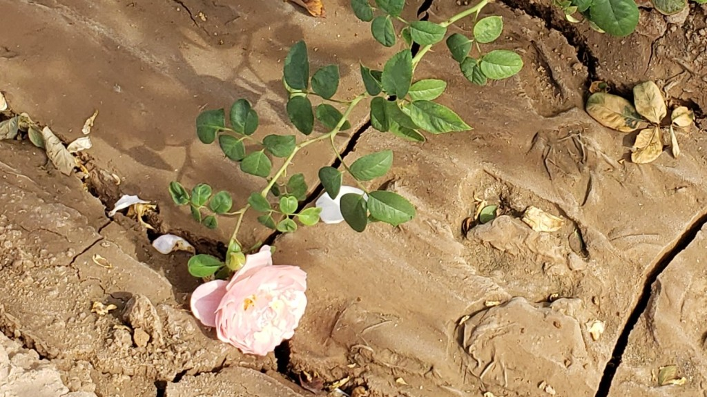 rose on a vine laying in the mud