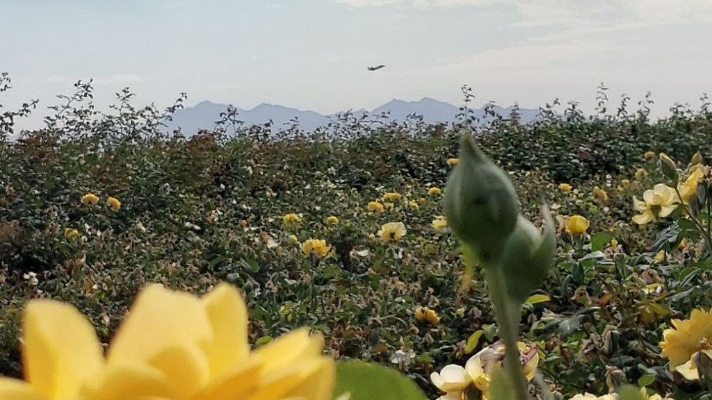 yellow rose bushes in foreground with jet in sky in the background